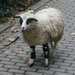 Orthesenversorgung Schaf