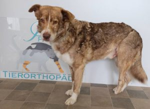 Hund mit Amputation eines Hinterlaufs